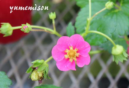花が可愛いイチゴの苗