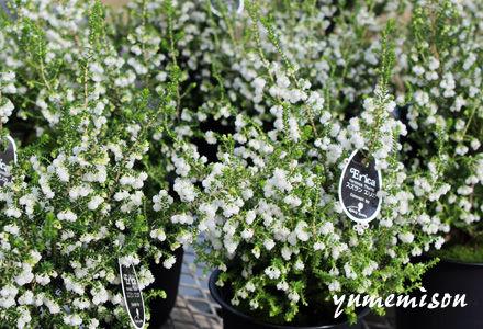 スズランエリカの鉢植え