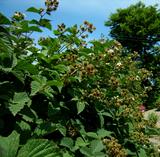 いっぱい実が付いたブラックベリー