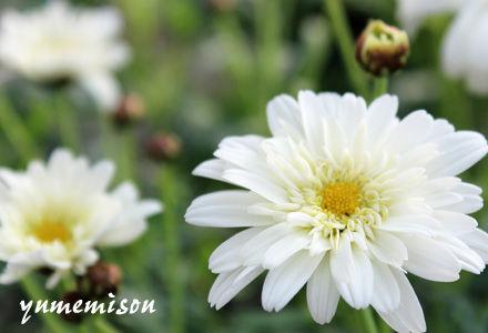 白い八重のマーガレット