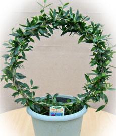 オリーブの鉢植