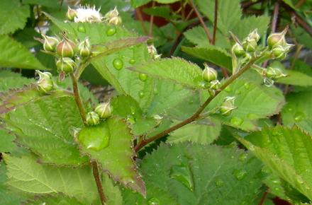 花が咲き始めたブラックベリーの苗
