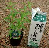 牛乳パックとレモンバーベナの苗