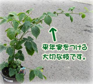 新芽が元気に伸びるブラックベリーの苗