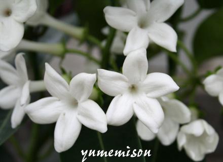 マダガスカルジャスミン