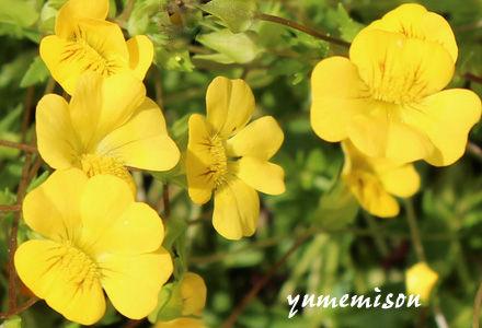 メカルドニアの花