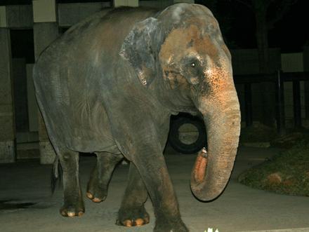 石川動物園のゾウさん