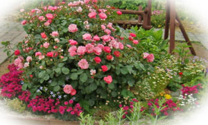 ハーブガーデンのバラ