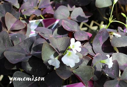 オキザリス 赤紫葉