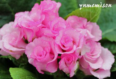 八重咲ジュリアン ピンク