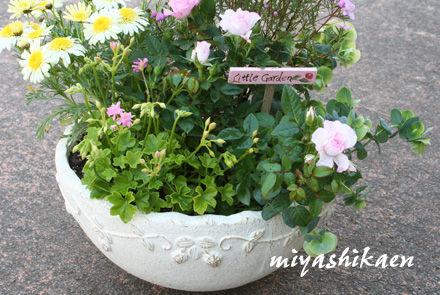白い陶器鉢の寄せ植え