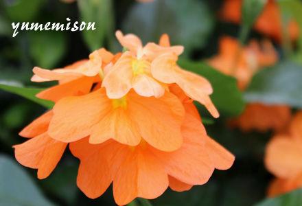 クロサンドラの花