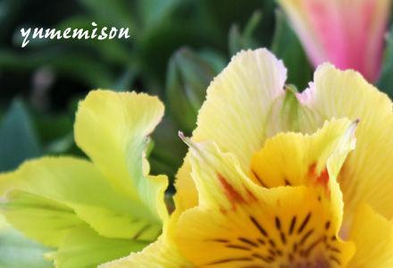 黄色のアルストロメリア