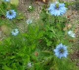 こぼれ種から、あちこちに咲いています。