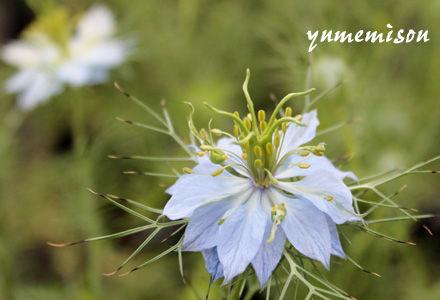 ニゲラ 青花