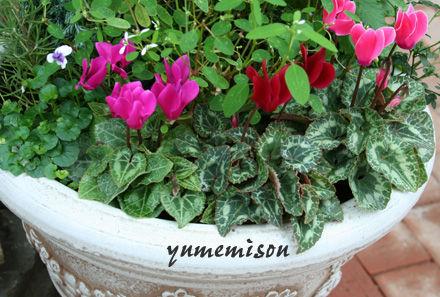 ガーデンシクラメンの寄せ植え