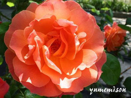 花フェスタのバラ・オレンジ