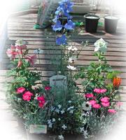 デルフィニウムやオダマキの花苗セット