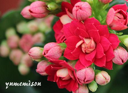 八重咲カランコエ1