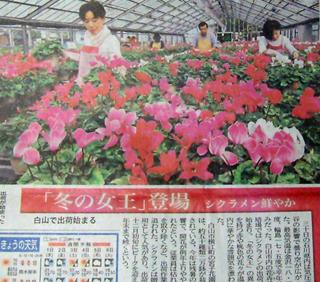 北國新聞の朝刊に、シクラメンが紹介されました。