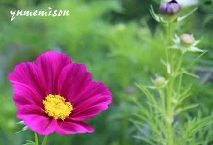 コスモスの鉢植え