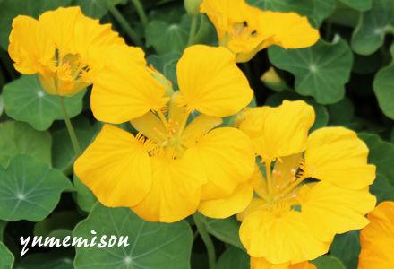 ナスタチウム 黄色