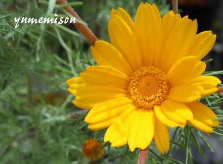 黄色の一年草