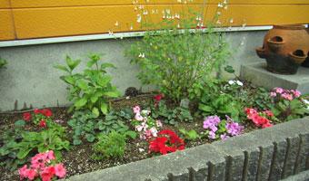 北側花壇のチェリーセージ