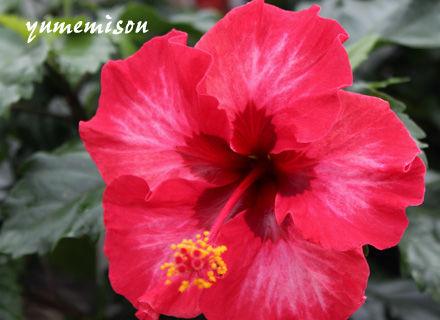 小花のハイビスカス