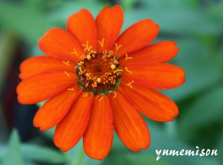 ジニア・オレンジ