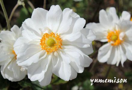 秋明菊 白花