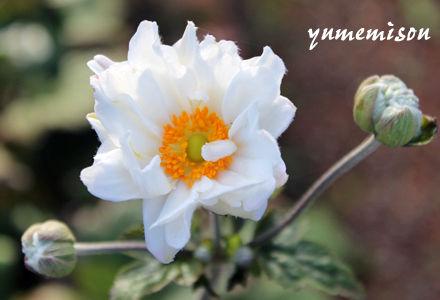 八重咲秋明菊