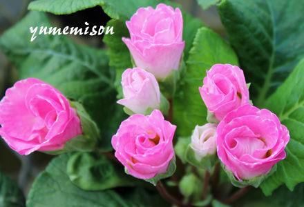 八重咲きジュリアン ピンク