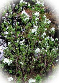 バイカシモツケの木