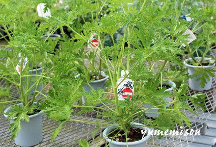 蚊取草の鉢植え