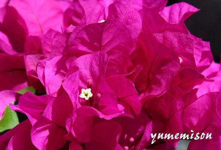 濃いピンクのブーゲンビレア