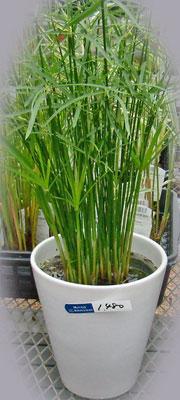 涼しげなシペラスの鉢植え