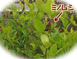 ブルーベリーの葉に、ミノムシ!