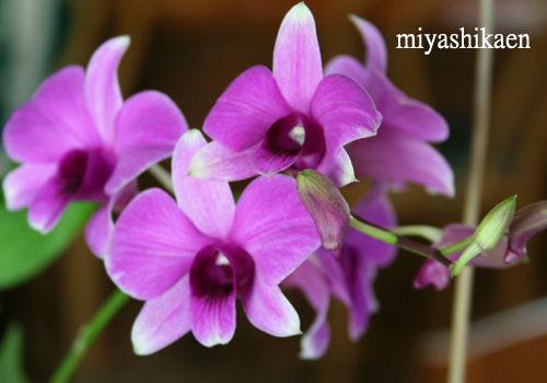 メインの花はデンファーレ