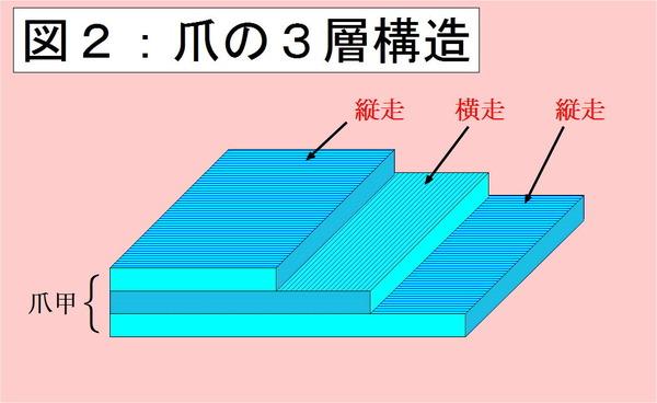 爪の3層構造