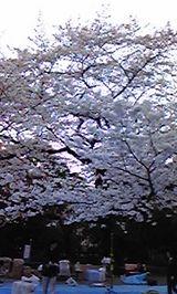 東京の桜①