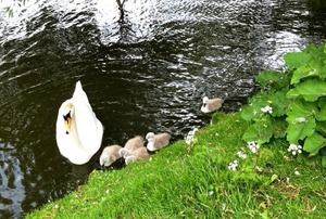 swan baby2