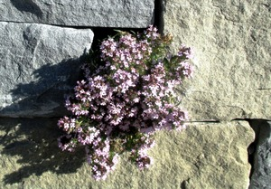 wall-flowers-331336_1920