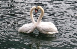 swans-342887_1280