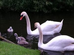swan baby 5