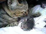 子猫と世話をしているミィちゃん
