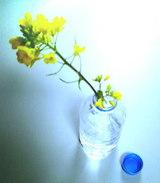 菜の花。愛娘より