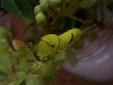 アゲハ幼虫1