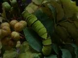 アゲハ幼虫2