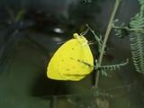 キチョウの成虫
